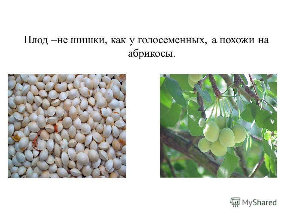 Плод –не шишки, как у голосеменных, а похожи на абрикосы.