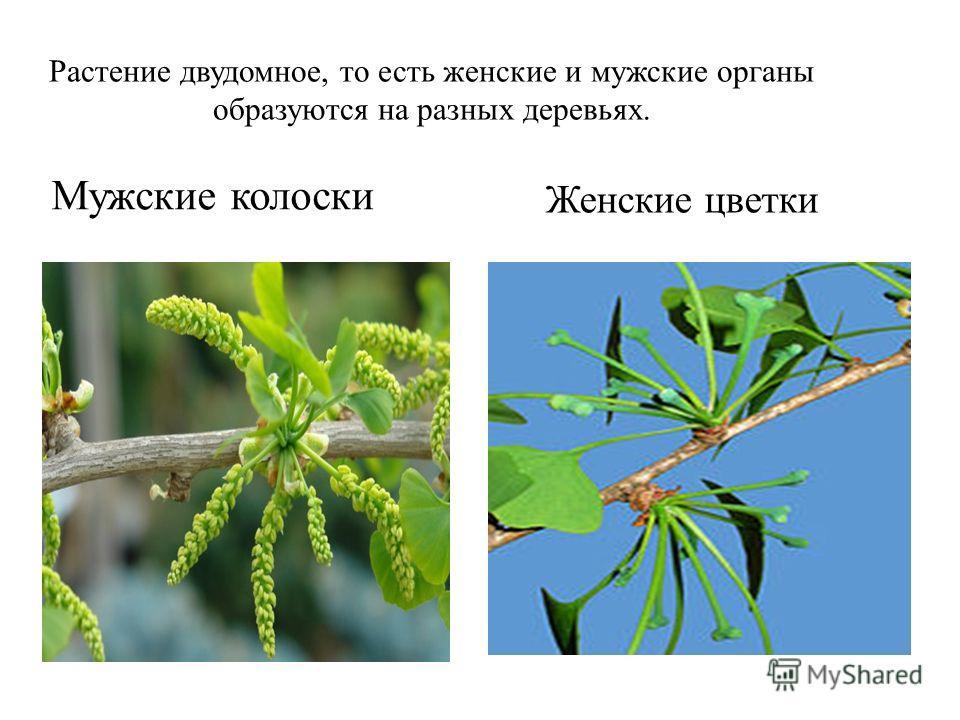 Растение двудомное, то есть женские и мужские органы образуются на разных деревьях. Мужские колоски Женские цветки