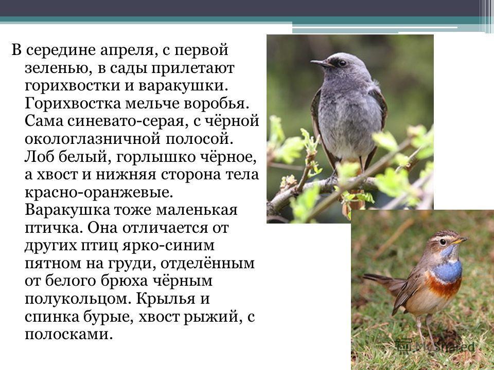 В середине апреля, с первой зеленью, в сады прилетают горихвостки и варакушки. Горихвостка мельче воробья. Сама синевато-серая, с чёрной окологлазничной полосой. Лоб белый, горлышко чёрное, а хвост и нижняя сторона тела красно-оранжевые. Варакушка то