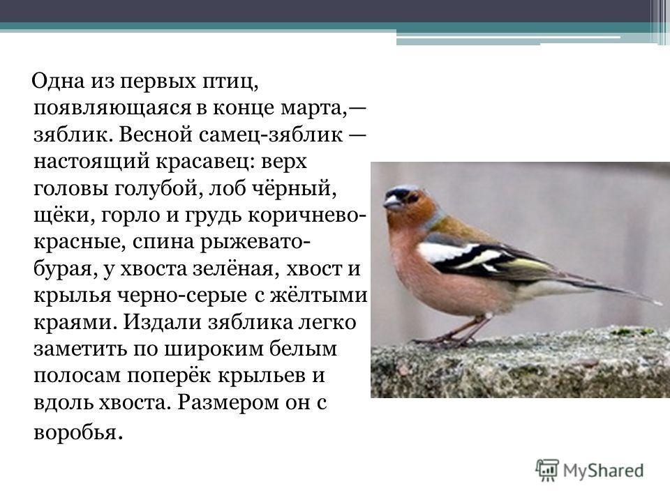 Одна из первых птиц, появляющаяся в конце марта, зяблик. Весной самец-зяблик настоящий красавец: верх головы голубой, лоб чёрный, щёки, горло и грудь коричнево- красные, спина рыжевато- бурая, у хвоста зелёная, хвост и крылья черно-серые с жёлтыми кр