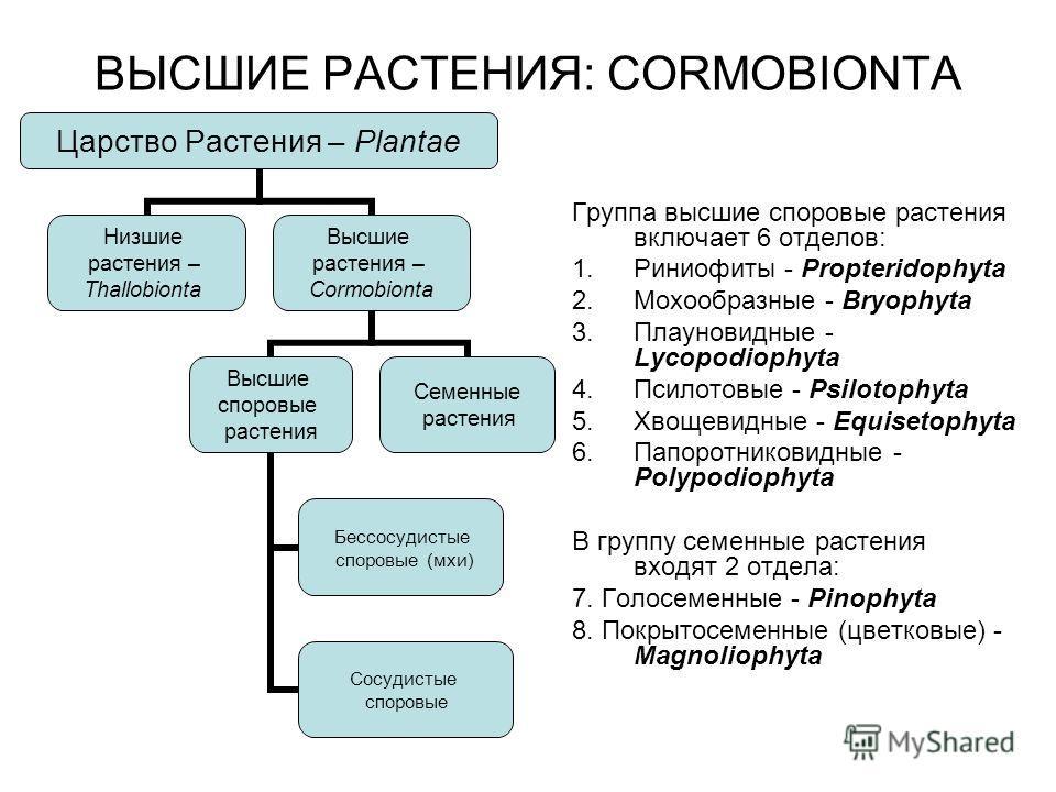 ВЫСШИЕ РАСТЕНИЯ: CORMOBIONTA Группа высшие споровые растения включает 6 отделов: 1. Риниофиты - Propteridophyta 2. Мохообразные - Bryophyta 3. Плауновидные - Lycopodiophyta 4. Псилотовые - Psilotophyta 5. Хвощевидные - Equisetophyta 6. Папоротниковид