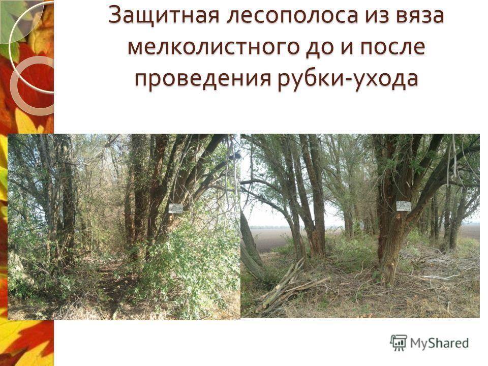 Защитная лесополоса из вяза мелколистного до и после проведения рубки - ухода