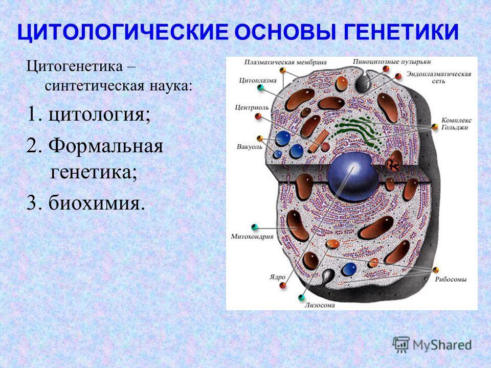 ЦИТОЛОГИЧЕСКИЕ ОСНОВЫ ГЕНЕТИКИ Цитогенетика – синтетическая наука: 1. цитология; 2. Формальная генетика; 3. биохимия.