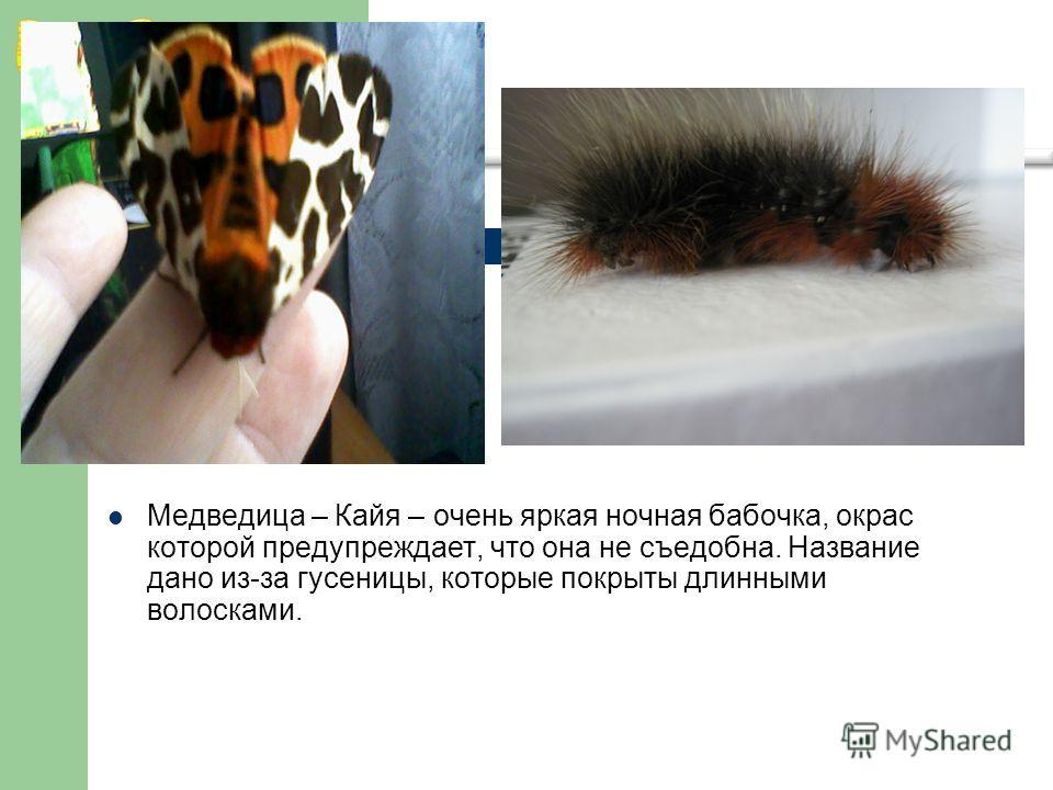 Медведица – Кайя – очень яркая ночная бабочка, окрас которой предупреждает, что она не съедобна. Название дано из-за гусеницы, которые покрыты длинными волосками.