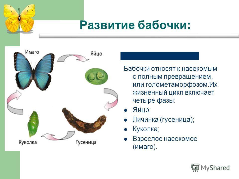 Развитие бабочки: Бабочки относят к насекомым с полным превращением, или голометаморфозом.Их жизненный цикл включает четыре фазы: Яйцо; Личинка (гусеница); Куколка; Взрослое насекомое (имаго).