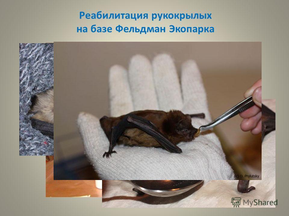 Реабилитация рукокрылых на базе Фельдман Экопарка