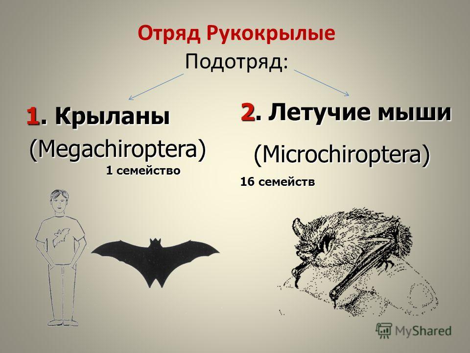 1. Крыланы 1. Крыланы (Megachiroptera) (Megachiroptera) 1 семейство Отряд Рукокрылые Подотряд: 2. Летучие мыши (Microchiroptera) (Microchiroptera) 16 семейств