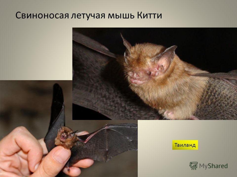 Свиноносая летучая мышь Китти Таиланд