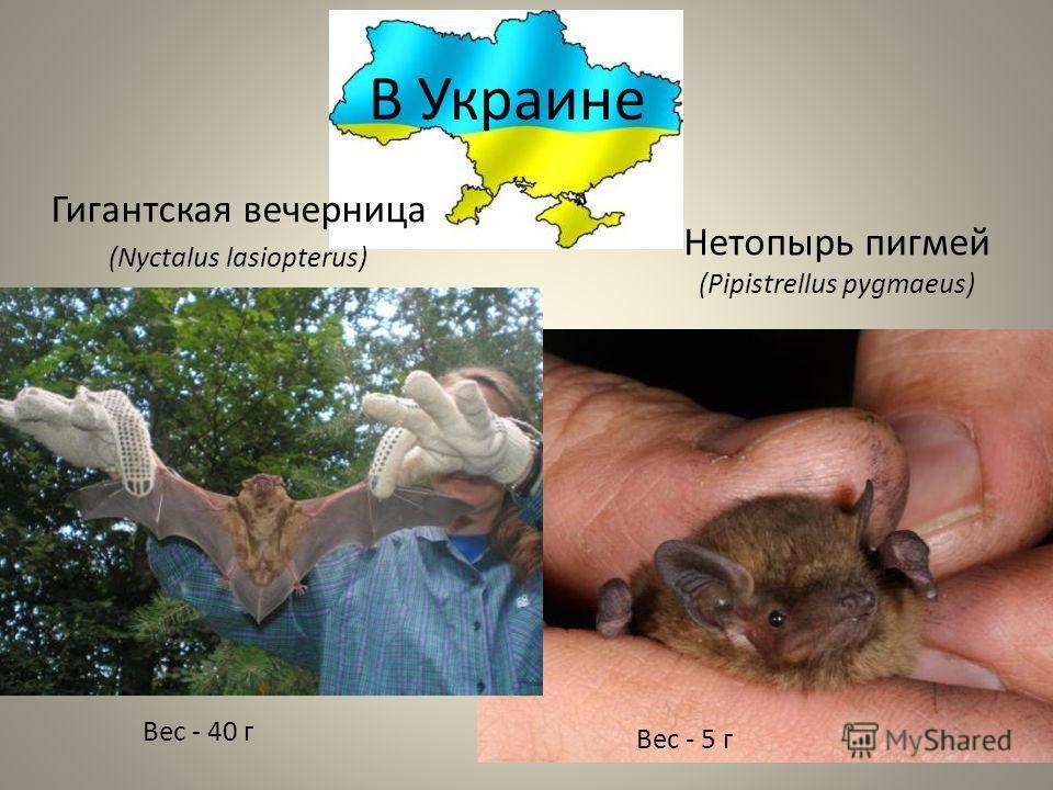 В Украине Гигантская вечерница (Nyctalus lasiopterus) Нетопырь пигмей (Pipistrellus pygmaeus) Вес - 40 г Вес - 5 г