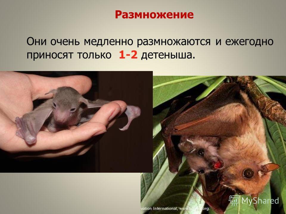 Размножение Они очень медленно размножаются и ежегодно приносят только 1-2 детеныша.