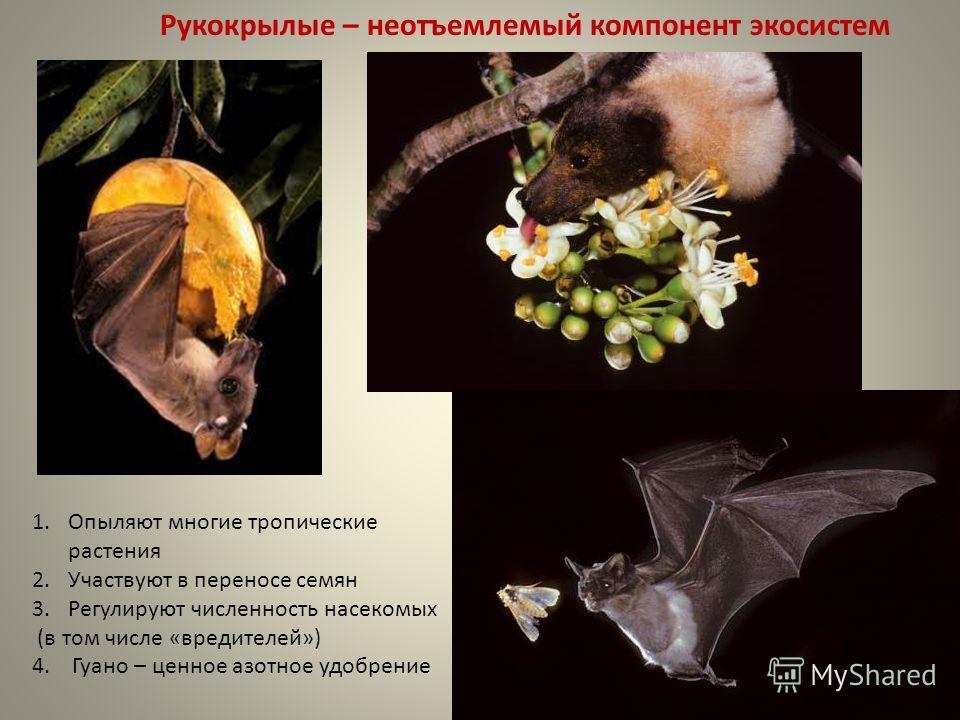 Рукокрылые – неотъемлемый компонент экосистем 1. Опыляют многие тропические растения 2. Участвуют в переносе семян 3. Регулируют численность насекомых (в том числе «вредителей») 4. Гуано – ценное азотное удобрение