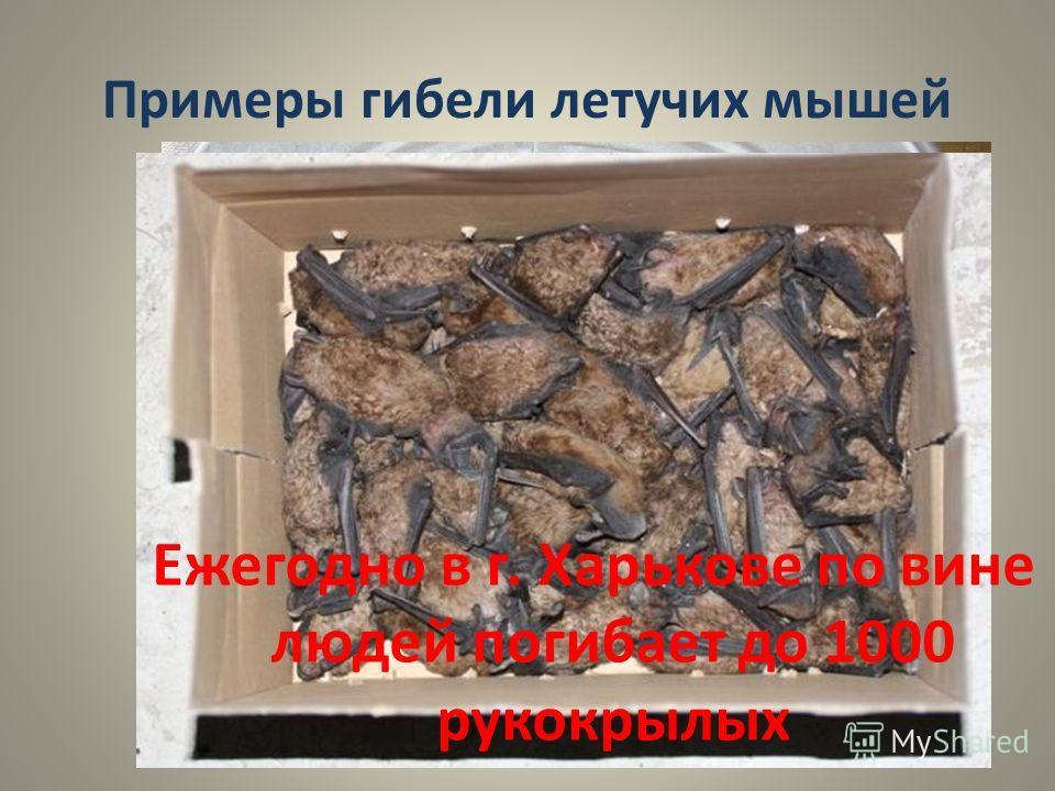 Примеры гибели летучих мышей Ежегодно в г. Харькове по вине людей погибает до 1000 рукокрылых