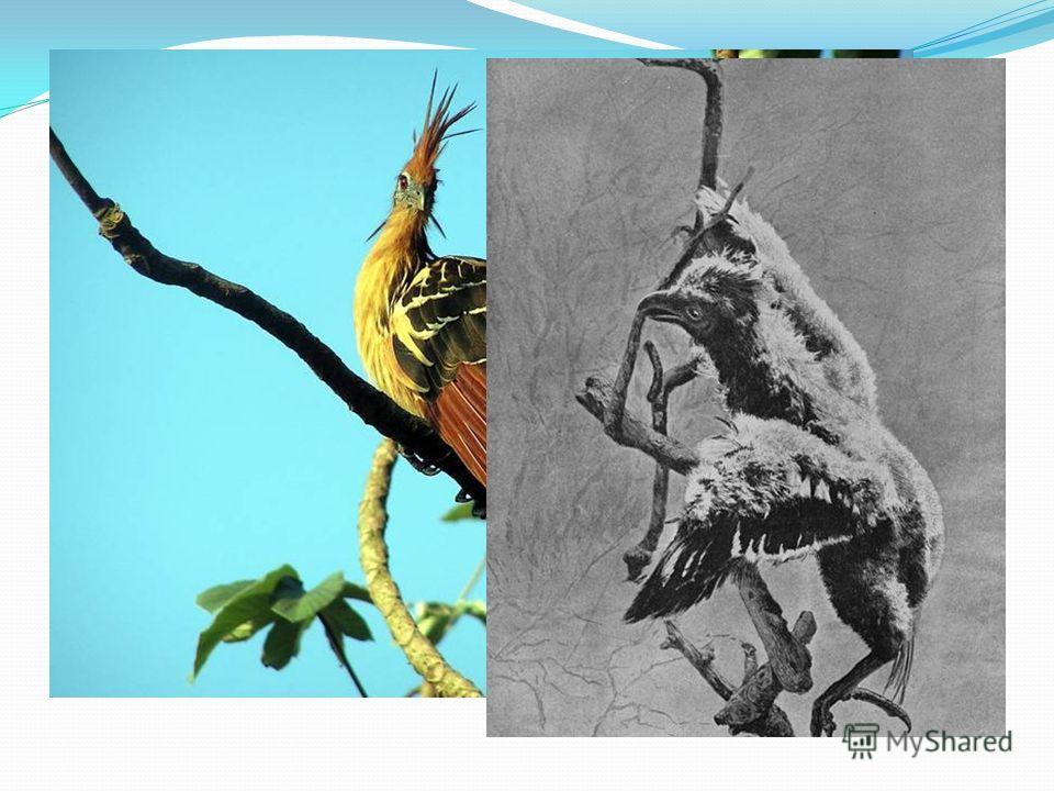 Отряд куриных, куда входит около 250 видов, очень древняя группа птиц, которая строением и образом жизни значительно отличается от остальных пернатых. Но систематика куриных все же имеет спорные вопросы. Например, ученые не могут решить, причислять л