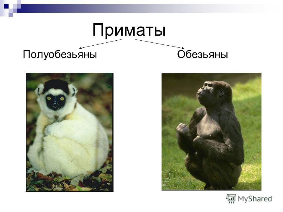 Презентация про обезьян