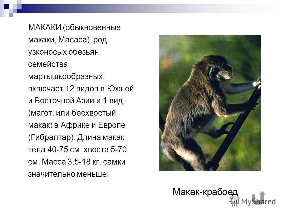 МАКАКИ (обыкновенные макаки, Масаса), род узконосых обезьян семейства мартышкообразных, включает 12 видов в Южной и Восточной Азии и 1 вид (магот, или бесхвостый макак) в Африке и Европе (Гибралтар). Длина макак тела 40-75 см, хвоста 5-70 см. Масса 3