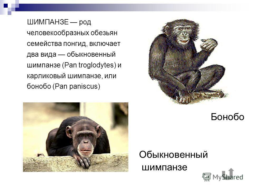 ШИМПАНЗЕ род человекообразных обезьян семейства понгид, включает два вида обыкновенный шимпанзе (Pan troglodytes) и карликовый шимпанзе, или бонобо (Pan paniscus) Бонобо Обыкновенный шимпанзе