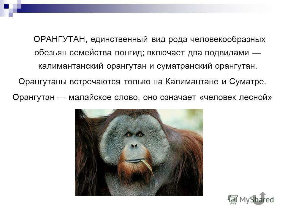 ОРАНГУТАН, единственный вид рода человекообразных обезьян семейства понгид; включает два подвидами калимантанский орангутан и суматранский орангутан. Орангутаны встречаются только на Калимантане и Суматре. Орангутан малайское слово, оно означает «чел