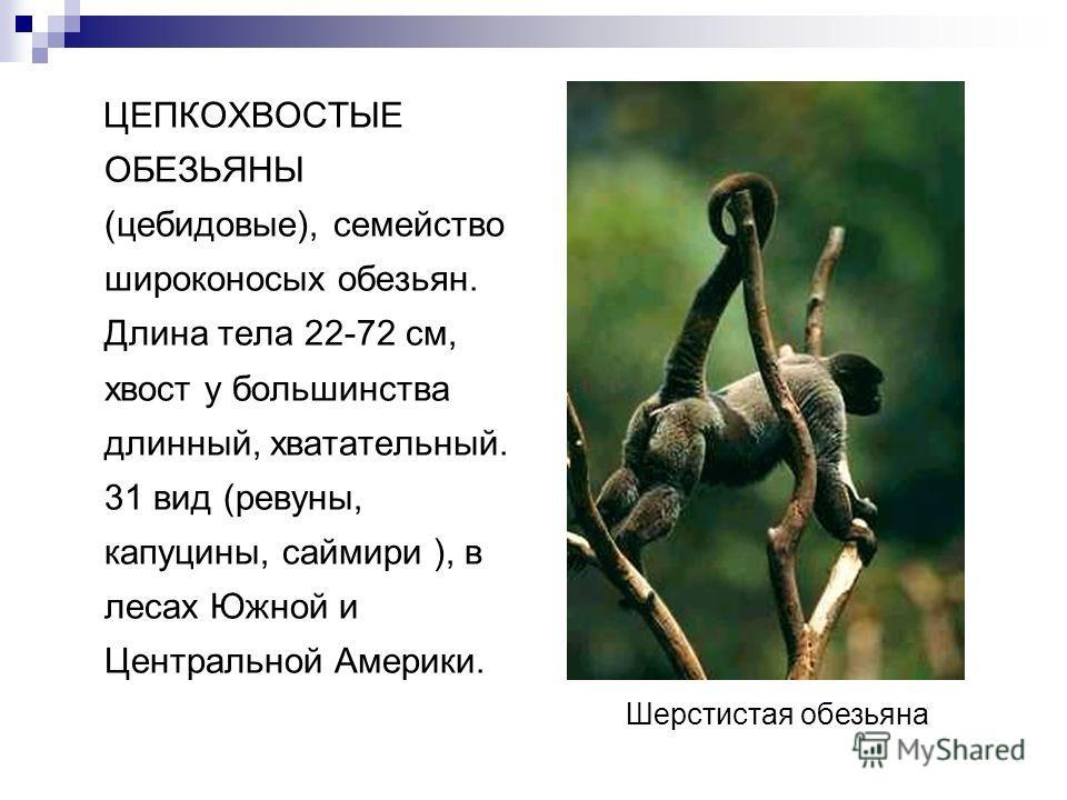 ЦЕПКОХВОСТЫЕ ОБЕЗЬЯНЫ (цебидовые), семейство широконосых обезьян. Длина тела 22-72 см, хвост у большинства длинный, хватательный. 31 вид (ревуны, капуцины, саймири ), в лесах Южной и Центральной Америки. Шерстистая обезьяна