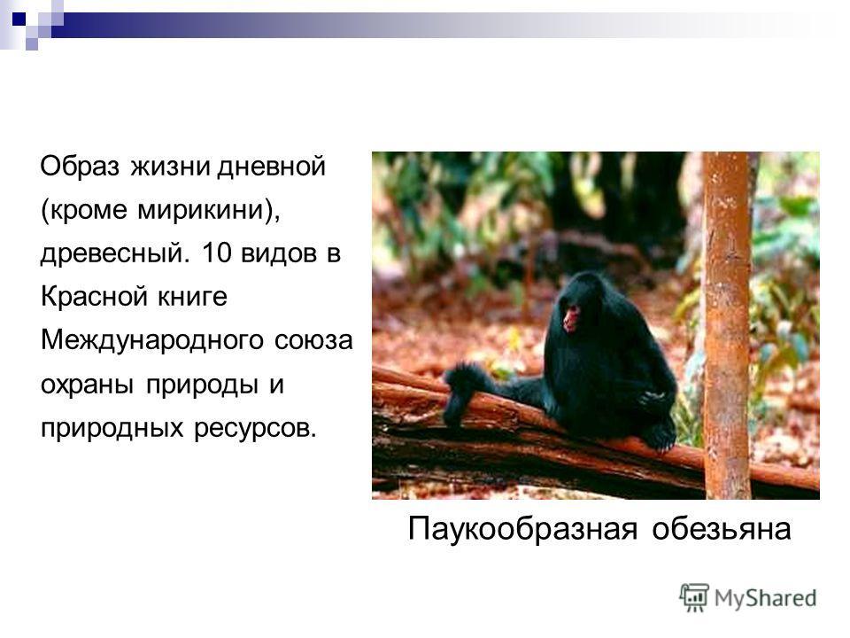 Образ жизни дневной (кроме мирикини), древесный. 10 видов в Красной книге Международного союза охраны природы и природных ресурсов. Паукообразная обезьяна