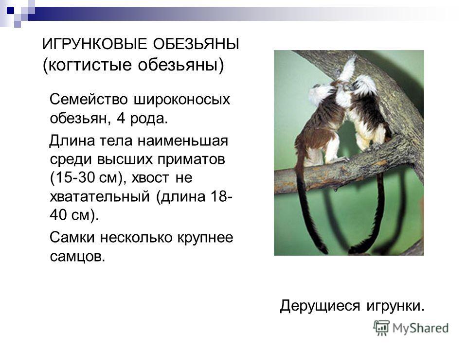Cемейство широконосых обезьян, 4 рода. Длина тела наименьшая среди высших приматов (15-30 см), хвост не хватательный (длина 18- 40 см). Самки несколько крупнее самцов. Дерущиеся игрунки. ИГРУНКОВЫЕ ОБЕЗЬЯНЫ (когтистые обезьяны)