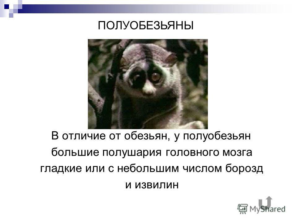 В отличие от обезьян, у полуобезьян большие полушария головного мозга гладкие или с небольшим числом борозд и извилин ПОЛУОБЕЗЬЯНЫ