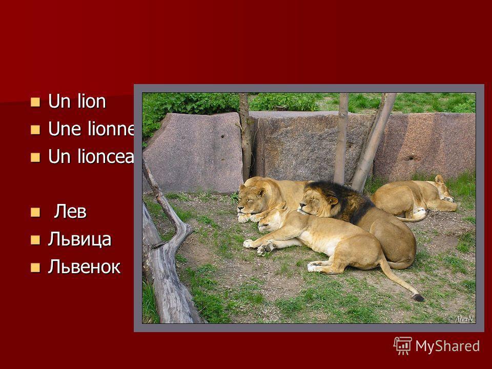 Un lion Un lion Une lionne Une lionne Un lionceau Un lionceau Лев Лев Львица Львица Львенок Львенок