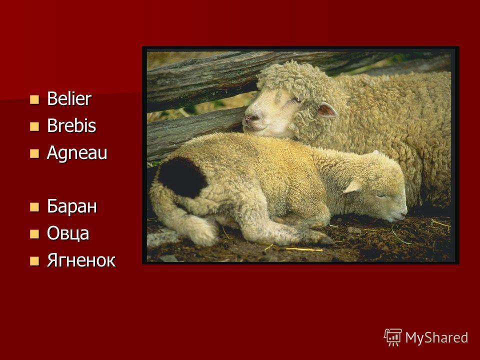 Belier Belier Brebis Brebis Agneau Agneau Баран Баран Овца Овца Ягненок Ягненок