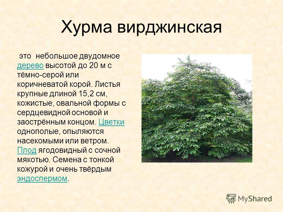 Хурма вирджинская это небольшое двудомное дерево высотой до 20 м с тёмно-серой или коричневатой корой. Листья крупные длиной 15,2 см, кожистые, овальной формы с сердцевидной основой и заострённым концом. Цветки однополые, опыляются насекомыми или вет