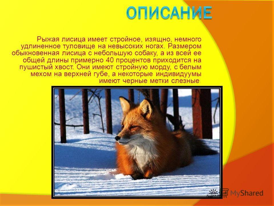 Рыжая лисица имеет стройное, изящно, немного удлиненное туловище на невысоких ногах. Размером обыкновенная лисица с небольшую собаку, а из всей ее общей длины примерно 40 процентов приходится на пушистый хвост. Они имеют стройную морду, с белым мехом