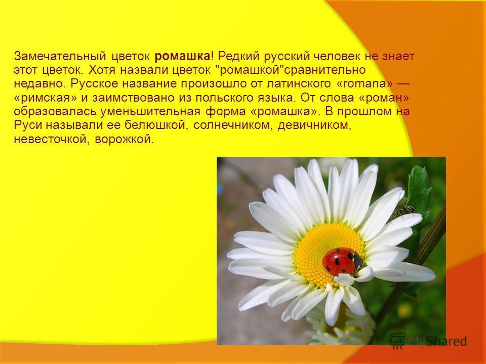 Замечательный цветок ромашка! Редкий русский человек не знает этот цветок. Хотя назвали цветок