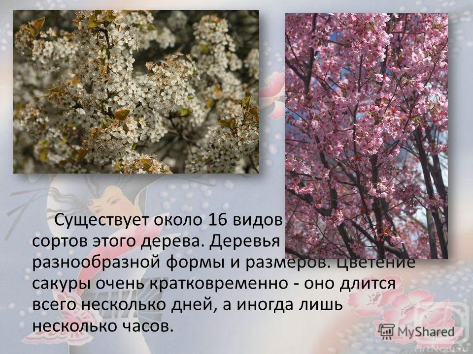 Существует около 16 видов и примерно 400 сортов этого дерева. Деревья - самой разнообразной формы и размеров. Цветение сакуры очень кратковременно - оно длится всего несколько дней, а иногда лишь несколько часов.