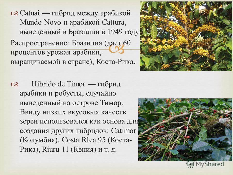Catuai гибрид между арабикой Mundo Novo и арабикой Cattura, выведенный в Бразилии в 1949 году. Распространение : Бразилия ( дает 60 процентов урожая арабики, выращиваемой в стране ), Коста - Рика. Hibrido de Timor гибрид арабики и робусты, случайно в