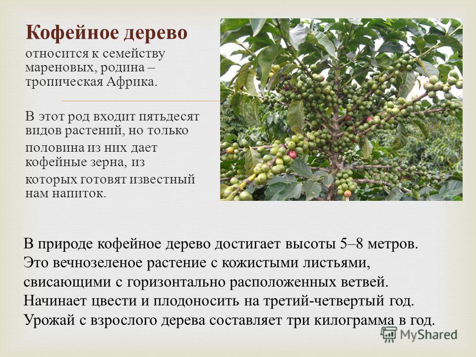 Кофейное дерево относится к семейству мареновых, родина – тропическая Африка. В этот род входит пятьдесят видов растений, но только половина из них дает кофейные зерна, из которых готовят известный нам напиток. В природе кофейное дерево достигает выс
