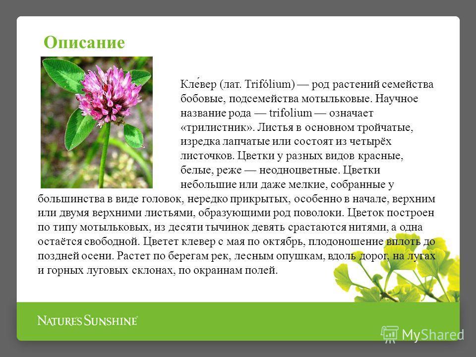 Кле́вер (лат. Trifólium) род растений семейства бобовые, подсемейства мотыльковые. Научное название рода trifolium означает «трилистник». Листья в основном тройчатые, изредка лапчатые или состоят из четырёх листочков. Цветки у разных видов красные, б