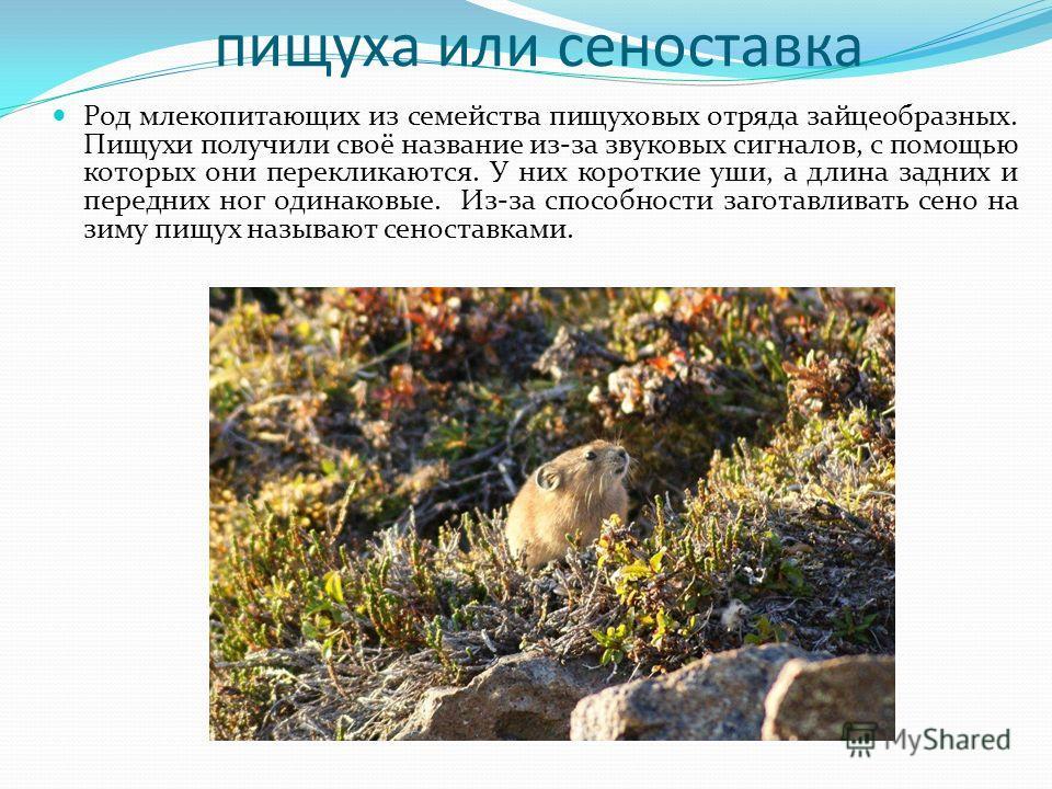 пищуха или сеноставка Род млекопитающих из семейства пищуховых отряда зайцеобразных. Пищухи получили своё название из-за звуковых сигналов, с помощью которых они перекликаются. У них короткие уши, а длина задних и передних ног одинаковые. Из-за спосо