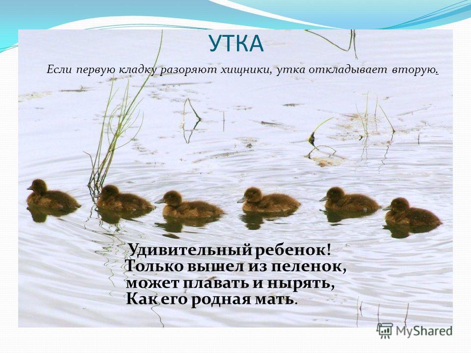 УТКА Если первую кладку разоряют хищники, утка откладывает вторую. Удивительный ребенок! Только вышел из пеленок, может плавать и нырять, Как его родная мать.