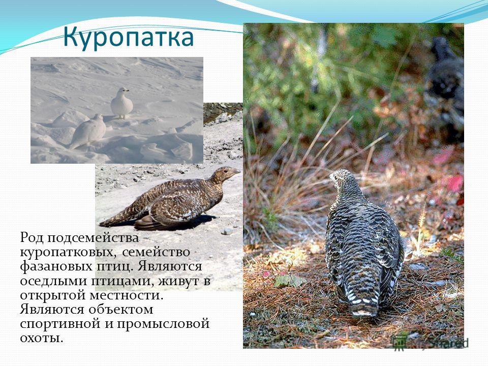 Куропатка Род подсемейства куропатковых, семейство фазановых птиц. Являются оседлыми птицами, живут в открытой местности. Являются объектом спортивной и промысловой охоты.