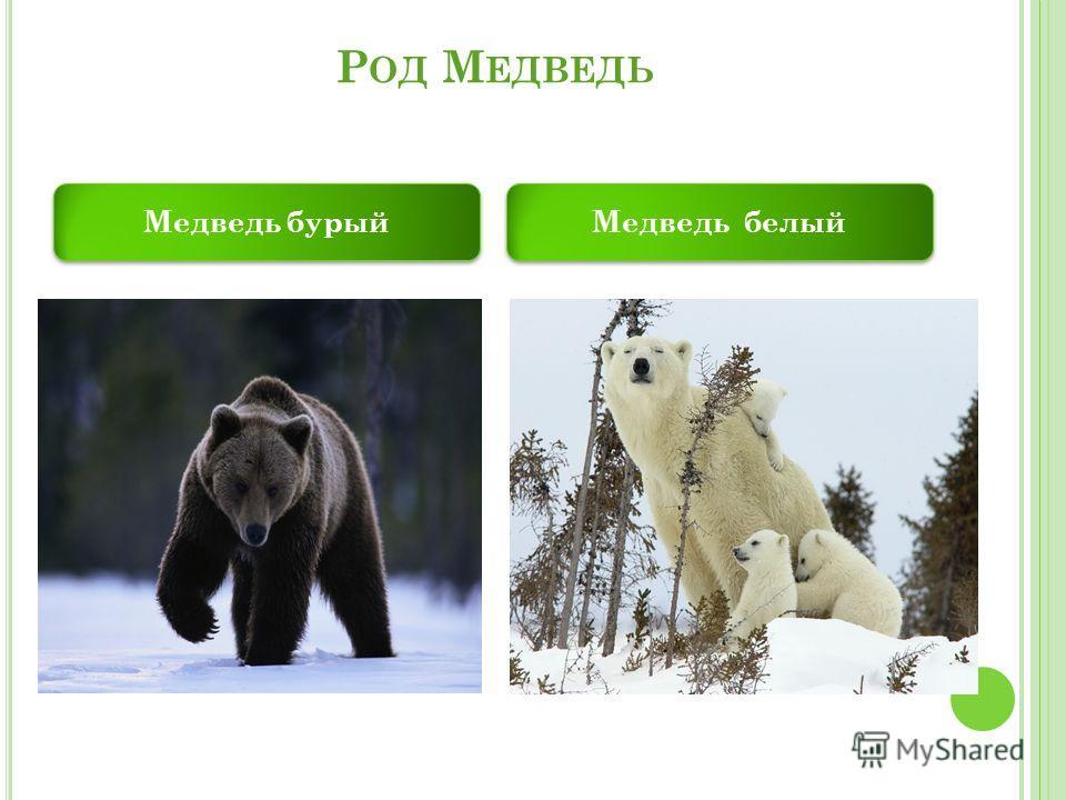 Р ОД М ЕДВЕДЬ Медведь бурый Медведь белый