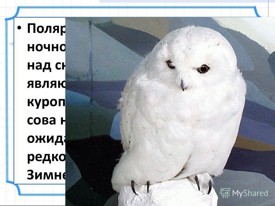 Полярные совы живут в тундре. В ночной тишине пролетают они над снегами. Кормом сов являются мыши, зайцы, куропатки. Терпеливо дежурит сова на своём посту. Часами ожидает она добычи. Охотнику редко удаётся подойти к сове. Зимнее оперение её белее сне