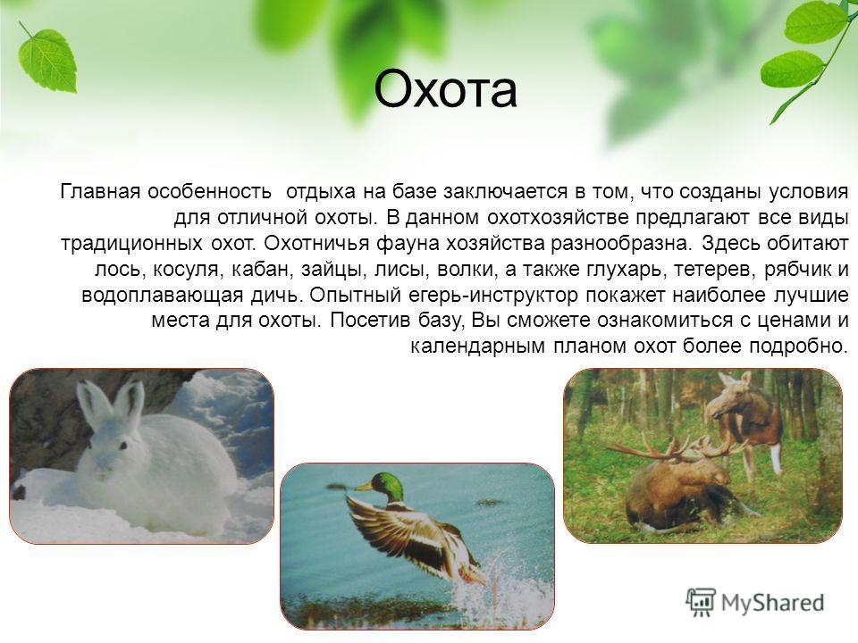 Охота Главная особенность отдыха на базе заключается в том, что созданы условия для отличной охоты. В данном охотхозяйстве предлагают все виды традиционных охот. Охотничья фауна хозяйства разнообразна. Здесь обитают лось, косуля, кабан, зайцы, лисы,