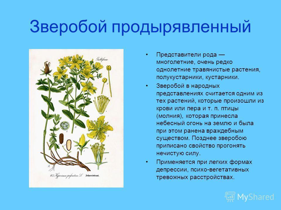 Зверобой продырявленный Представители рода многолетние, очень редко однолетние травянистые растения, полукустарники, кустарники. Зверобой в народных представлениях считается одним из тех растений, которые произошли из крови или пера и т. п. птицы (мо