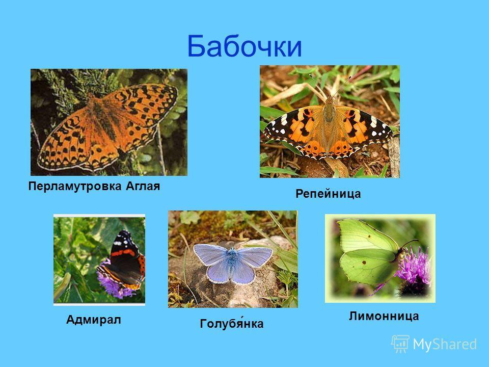 Бабочки Перламутровка Аглая Адмирал Репейница Голубя́нка Лимонница