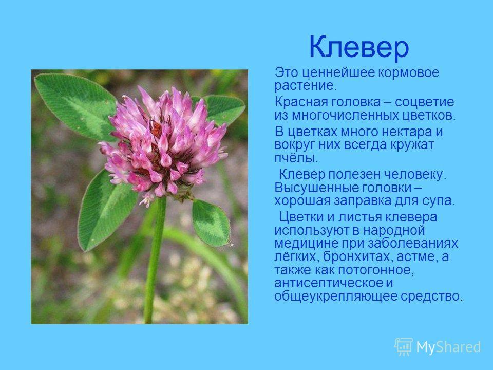 Клевер Это ценнейшее кормовое растение. Красная головка – соцветие из многочисленных цветков. В цветках много нектара и вокруг них всегда кружат пчёлы. Клевер полезен человеку. Высушенные головки – хорошая заправка для супа. Цветки и листья клевера и