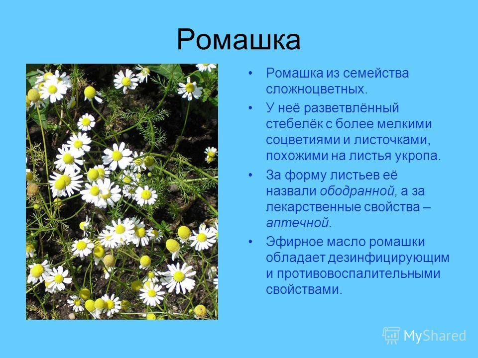 Ромашка Ромашка из семейства сложноцветных. У неё разветвлённый стебелёк с более мелкими соцветиями и листочками, похожими на листья укропа. За форму листьев её назвали ободранной, а за лекарственные свойства – аптечной. Эфирное масло ромашки обладае