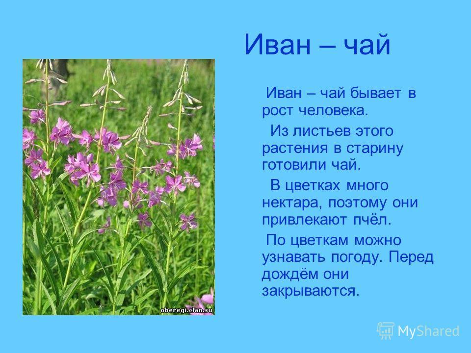 Иван – чай Иван – чай бывает в рост человека. Из листьев этого растения в старину готовили чай. В цветках много нектара, поэтому они привлекают пчёл. По цветкам можно узнавать погоду. Перед дождём они закрываются.