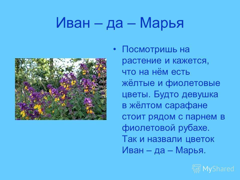 Иван – да – Марья Посмотришь на растение и кажется, что на нём есть жёлтые и фиолетовые цветы. Будто девушка в жёлтом сарафане стоит рядом с парнем в фиолетовой рубахе. Так и назвали цветок Иван – да – Марья.