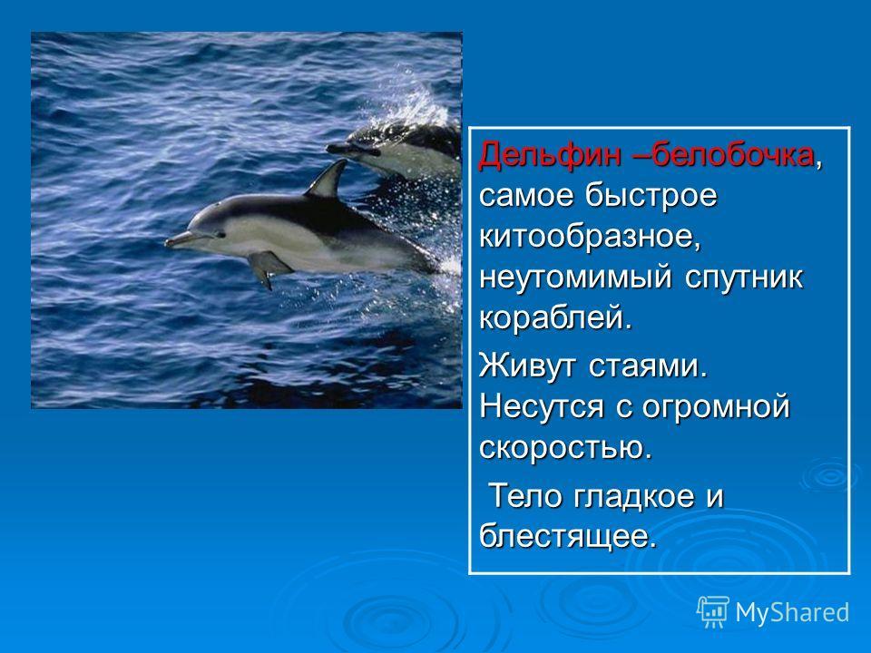 Дельфин –белобочка, самое быстрое китообразное, неутомимый спутник кораблей. Живут стаями. Несутся с огромной скоростью. Тело гладкое и блестящее. Тело гладкое и блестящее.
