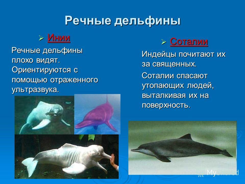 Речные дельфины Инии Инии Речные дельфины плохо видят. Ориентируются с помощью отраженного ультразвука. Речные дельфины плохо видят. Ориентируются с помощью отраженного ультразвука. Соталии Соталии Индейцы почитают их за священных. Индейцы почитают и