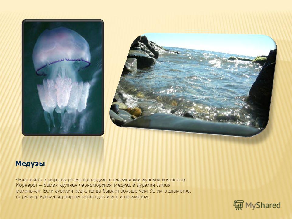 Медузы Чаше всего в море встречаются медузы с названиями аурелия и корнерот. Корнерот самая крупная черноморская медуза, а аурелия самая маленькая. Если аурелия редко когда бывает больше чем 30 см в диаметре, то размер купола корнерота может достигат