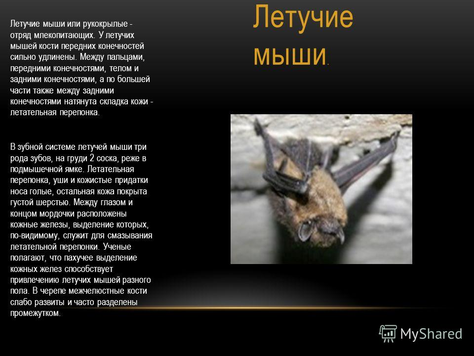 Летучие мыши. Летучие мыши или рукокрылые - отряд млекопитающих. У летучих мышей кости передних конечностей сильно удлинены. Между пальцами, передними конечностями, телом и задними конечностями, а по большей части также между задними конечностями нат